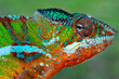 Close up of panther chameleon