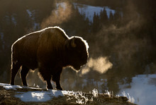 American Bison Standing In Yel...