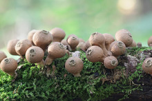 Lycoperdon Pyriforme, Commonly Known As The Pear-shaped Puffball Or Stump Puffball