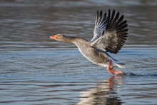 Greylag Goose Taking Off From Lake