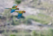 Two Red Fronted Macaw Flying Outdoors