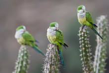 Cliff Parakeet Perching On Cac...