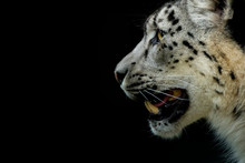 Side View Of Snow Leopard Agai...