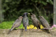 Starling Feeding Chicks Outdoors