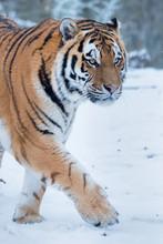 Siberian Tiger Walking On Snow...