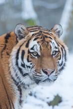Close Up Of Siberian Tiger