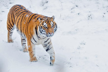 Siberian Tiger Walking On Snowy Landscape