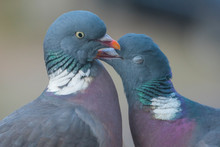 Close Up Of Common Wood Pigeon...