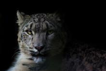 Portrait Of Snow Leopard Against Black Background
