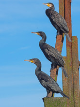 Great Cormorants Resting Against Blue Sky