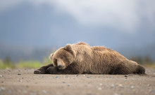 Grizzly Bear Resting At Lake Clark National Park And Preserve