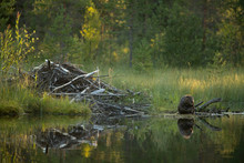 Eurasian Beaver Sitting Near Lake In Forest