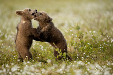 Brown Bear Cubs Fighting On Cotton Grass