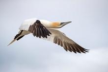 Northern Gannet Flying In Sky