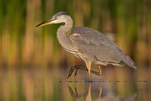 Grey Heron Standing In Pond At Valkenhorst Nature Reserve