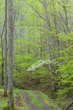Dogwood Trees Blooming In The ...