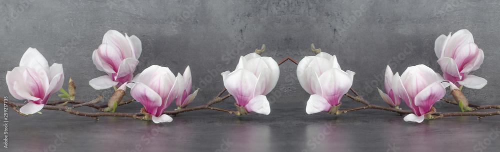 Fototapety, obrazy: Wunderschöner blühender Magnolienzweig Panorama