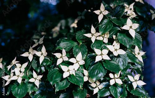 Fotografie, Obraz  Tree with white flowers in spring