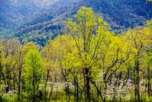 Scenics Dogwood Trees Blooming...