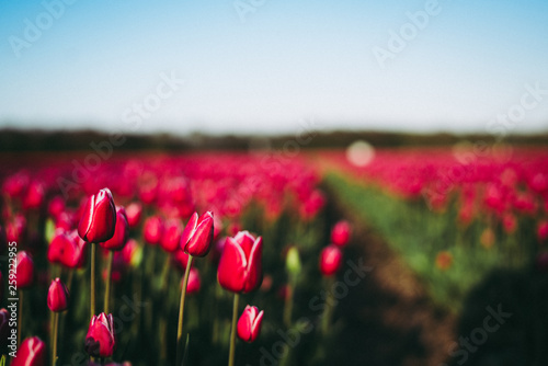 Foto op Canvas Koraal Tulips in the Netherlands (Holland)