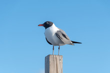 A Laughing Gull Perched On A P...