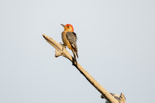 Red-bellied Woodpecker Perched...