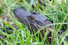 Baby Alligator Hiding In The T...