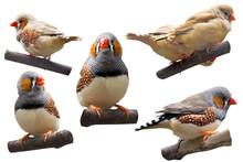 Cute Little Birds Amadins Set ...