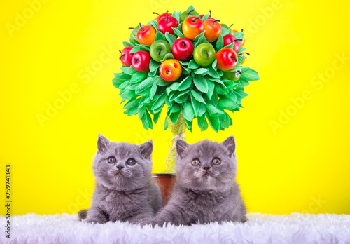 Poster Jaune Beautiful stylish purebred cat. Animal portrait. Purebred cat is sitting. Blue background. Colorful decorations. Collection of funny animals
