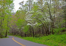 Dogwood Trees Blooming In Spri...