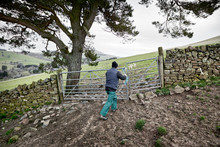 Closing The Gate After Ewes And Lambs Are Returned To The Field
