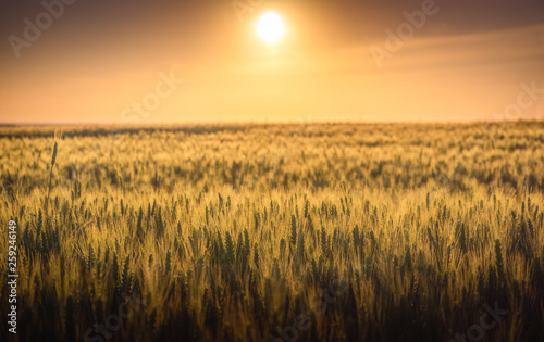 Canvas Prints Culture Wheat crop field at sunset