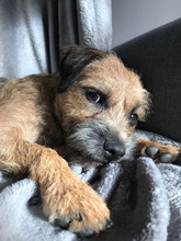 Sweet Border Terrier