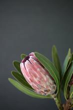 Close Up Of A Beautiful Protea...