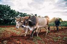 Farmer And Oxen Plowing Tobacco Field