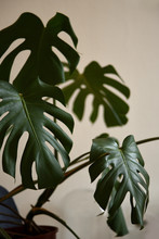 Monstera Plant In A Room
