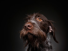 Wire Haired Griffon In A Studi...