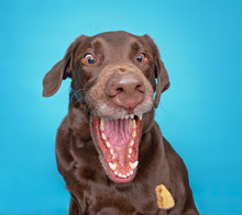Funny Chocolate Lab With His Mouth Wide Open Catching A Treat On An Isolated Blue Background Studio Shot