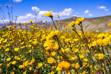 Desert Sunflowers (Geraea Cane...