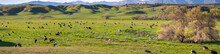 Herd Of Cattle Grazing On A Green Pasture, South California