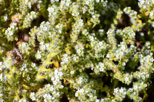 Fotografering  Narrow leaved cryptantha (Cryptantha angustifolia) wildflowers