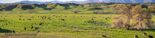 Herd of cattle grazing on a green pasture, south California Wallpaper Mural