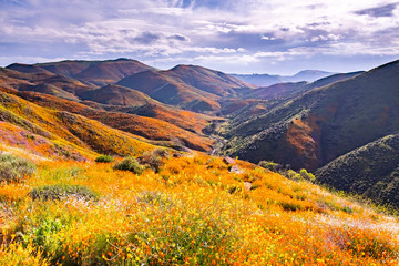 Fototapeta Krajobraz Landscape in Walker Canyon during the superbloom, California poppies covering the mountain valleys and ridges, Lake Elsinore, south California