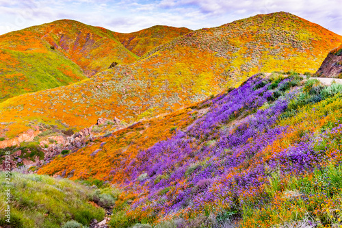Canvas Prints Honey Landscape in Walker Canyon during the superbloom, California poppies covering the mountain valleys and ridges, Lake Elsinore, south California