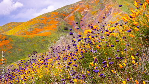 California poppies (Eschscholzia californica) and Chia (Salvia hispanica) blooming on the hills of Walker Canyon during the superbloom, Lake Elsinore, south California - 259257172