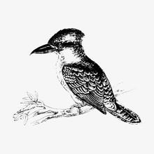 Jackass Bird Shade Drawing