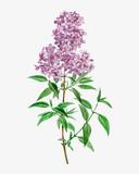 Blooming Persian Lilac - 259264573