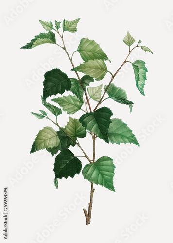Obraz na plátně Silver birch plant