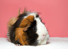 Portrait Of A Calico Colored Guinea Pig. In Western Society, The Domestic Guinea Pig Has Enjoyed Widespread Popularity As A Household Pet, A Type Of Pocket Pet