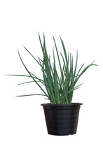Sansevieria Stuckyi Plant In Black Plastic Pot Isolated On White Background Included Clipping Path.